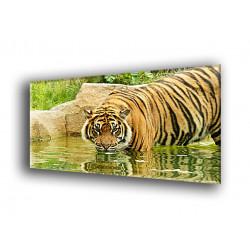 50907-Tigre cazando