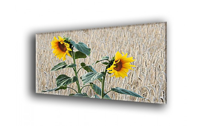 4018-Girasol campo de maiz