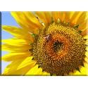 4024-girasol con abeja