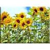 4028-floracion girasol