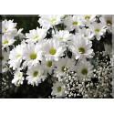 6013-Flor malgaritas blancas