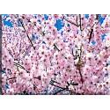 9601-Cerezos Japoneses Flores
