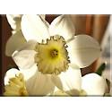 La Flor De Pascua Amarillo Blanco-2043