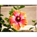 Flor de Jardín Naranja Amarillo Rojo-2045