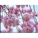 9604-Cerezos Japoneses Flores Rosa