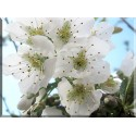 9605-Flor blanca cerezo
