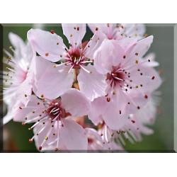 9606-Flor De Cerezo Japonés