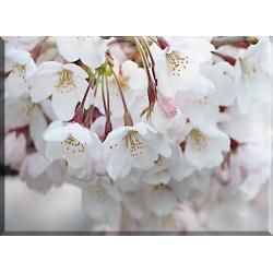 9610-Flores De Cerezo Japón Primavera