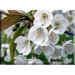 9611-Los Cerezos En Flor Flores De Los Árboles