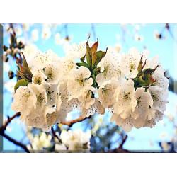 9612-Ramitas cerezo primavera