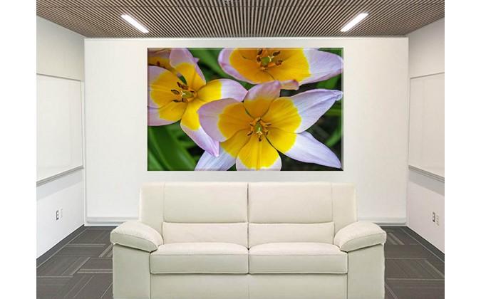 9531-tulipanes blanco amarillo