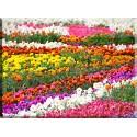 9535-prado colorido de tulipanes