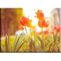 9537-Tulipanes bajo el sol
