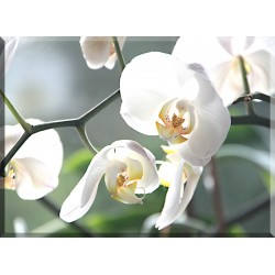 orquideas blancas