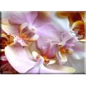 orquidea de la polilla