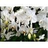 orquideas en manto blancas