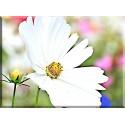 Flor Blanca Jardín malgarita blanca - 6025