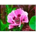 Cuadro rosa en el prado