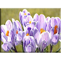 Azafrán Flor Primavera La Naturaleza